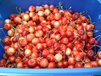 First Cherry Haul '09